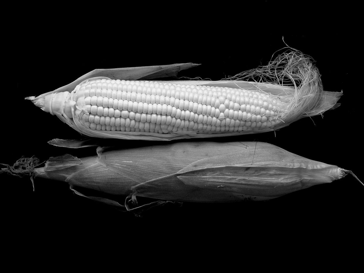 If there is an organsim that holds answers to the possibities of gene editing, it has to be the maize crop
