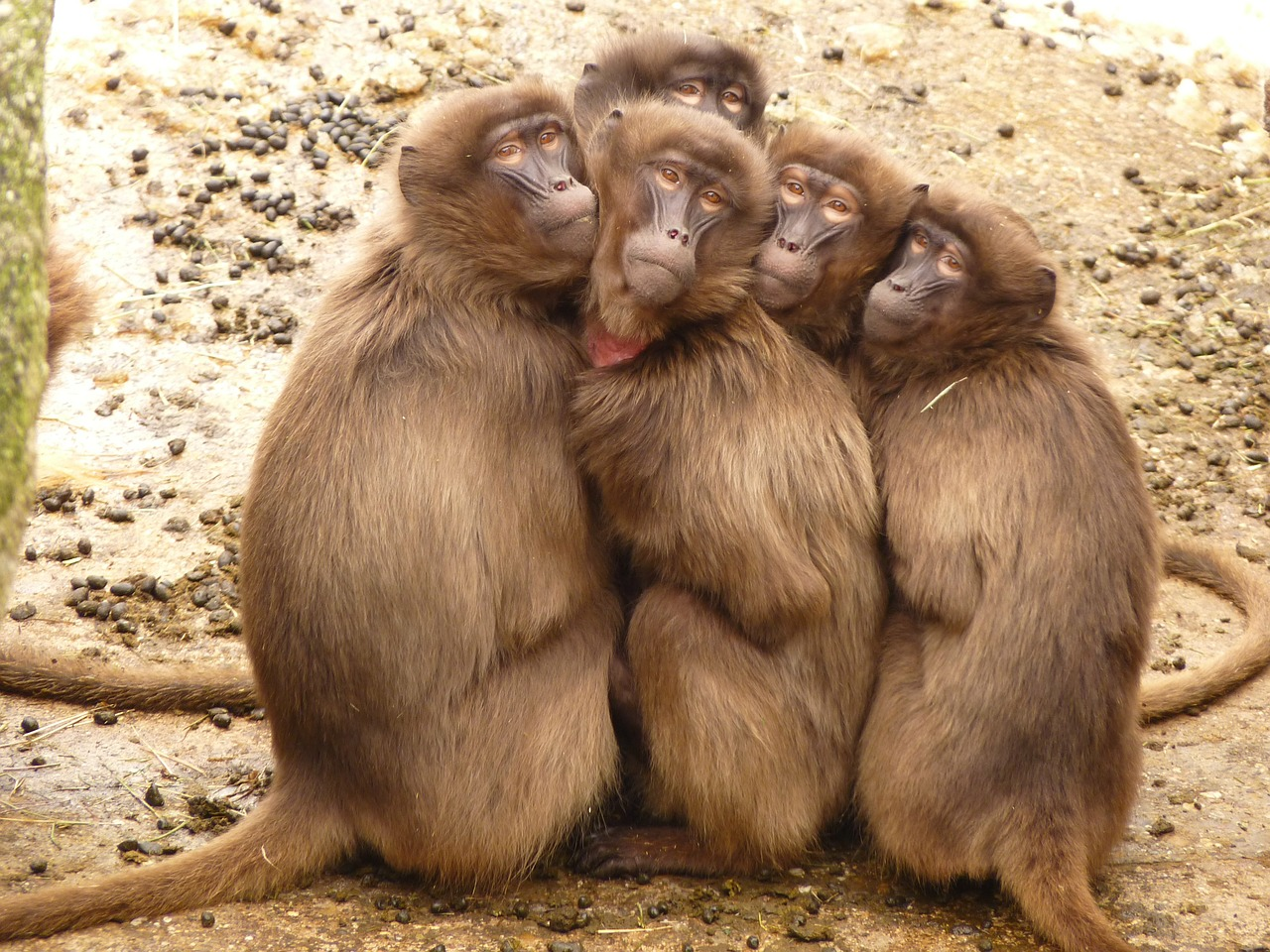 Baboons huddle together to beat the cold in a pose reminiscent of the viral Ellen DeGeneres Oscar selfie